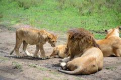 Junges Löwejunges im Familienstolz von Löwen auf afrikanischem serengeti lizenzfreie stockfotografie