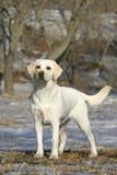 Junges Labrador Stockfotografie