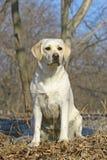 Junges Labrador Lizenzfreie Stockfotografie