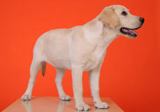 Junges Labrador Stockfoto