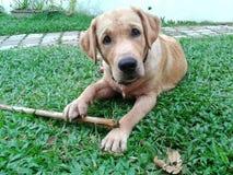 Junges Labrador auf Gras Stockbild