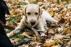 Junges Labrador spielt in den Blättern im Herbst stockfotografie