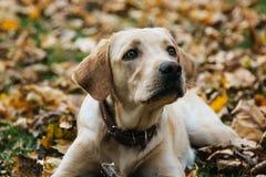 Junges Labrador spielt in den Blättern im Herbst stockbilder