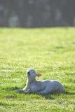 Junges Lamm auf einem Ackerland Lizenzfreie Stockfotos