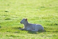 Junges Lamm auf einem Ackerland Lizenzfreie Stockfotografie