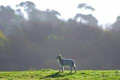 Junges Lamm auf einem Ackerland Lizenzfreies Stockfoto
