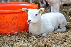 Junges Lamm auf Heu Lizenzfreies Stockfoto