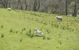 Junges Lamm, das auf einem grünen Gebiet ausdehnt Lizenzfreie Stockfotos