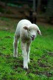 Junges Lamm in der Weide Lizenzfreie Stockbilder
