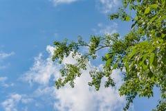 Junges Laub gegen den blauen Sommerhimmel Stockfoto