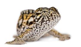Junges Leoparden-Chamäleon, Furcifer pardalis Lizenzfreies Stockbild