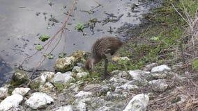 Junges Limpkin in Florida-Sumpfgebieten stock video