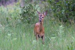 Junges männliches Rotwild, das am frühen Morgen auf eine Wiese in t kommt Lizenzfreies Stockbild