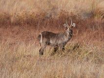 Junges männliches Waterbuck, das auf Gras kaut Stockfoto