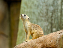 Junges Meerkat Stockbild
