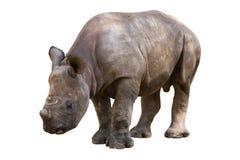 Junges Nashorn Stockbild
