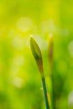 Junges neues grünes gelbes Blumennarzisse Narzissenjonquille am sonnigen Tag Lizenzfreies Stockfoto