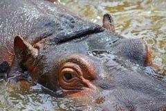 Junges Nilpferd im Wasser Stockfoto