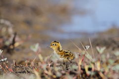 Junges Odinshühnchen, das auf der Tundra läuft Lizenzfreie Stockfotos