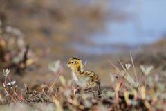 Junges Odinshühnchen, das auf der Tundra läuft Lizenzfreie Stockfotografie