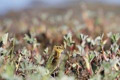 Junges Odinshühnchen, das hinter Weiden sich versteckt Lizenzfreies Stockbild