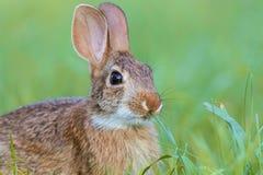 Junges Ostwaldkaninchen-Kaninchen, Sylvilagus Floridanus, im üppigen grünen Gras Lizenzfreie Stockfotografie