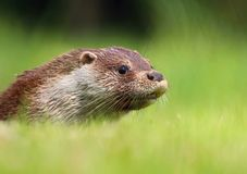 Junges Otterporträt Stockbilder