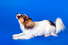 Junges papillon Stockfotos