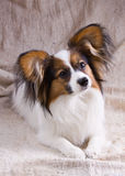 Junges papillon Lizenzfreie Stockfotos