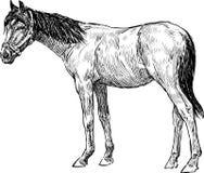 Junges Pferd Lizenzfreie Stockbilder