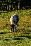 Junges Pferd Stockfoto