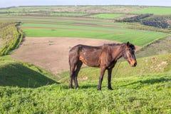 Junges Pferd auf grünen Hügeln Stockfotos