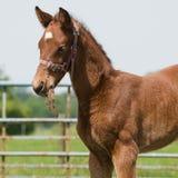 Junges Pferd, das Gras isst Lizenzfreie Stockfotos
