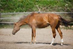 Junges Pferd rütteln weg den Staub Lizenzfreie Stockfotos