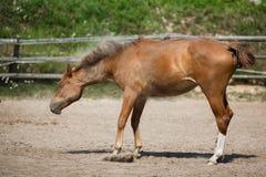 Junges Pferd rütteln weg den Staub Stockfotos