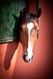 Junges Pferd Stockbild