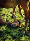 Junges Pferdefohlen Smilling, das im Gras sich entspannt Stockfotografie