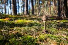 Junges Pilzsonnenschirmpilz Macrolepiota-procera in gras Lizenzfreie Stockbilder