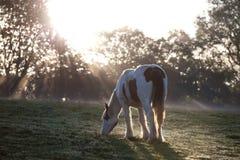 Junges Pony, das im Licht des frühen Morgens weiden lässt Lizenzfreies Stockfoto