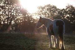 Junges Pony im Licht des frühen Morgens Stockfoto