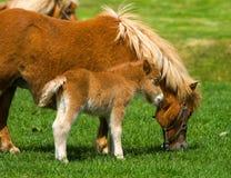 Junges Pony mit Mutter 3 Stockfotografie