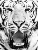Junges Porträt des sibirischen Tigers mit offenem Mund und den scharfen Zähnen Stockbilder