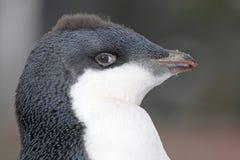 Junges Punk des Adelie-Pinguins, Antarctia Stockfotografie