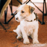 Junges Rauhhaar Jack Russell Terrier Dog Kleiner Terrier lizenzfreie stockfotografie