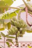 Junges rohes Bananenbündel genannt stockbilder