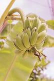 Junges rohes Bananenbündel genannt lizenzfreie stockfotos