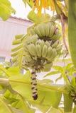 Junges rohes Bananenbündel genannt stockfotografie