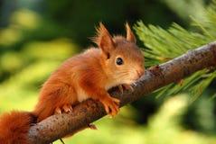 Junges rostig-farbiges Eichhörnchen Lizenzfreie Stockfotos