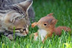 Junges rostig-farbiges Eichhörnchen und Katze Stockfoto