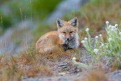 Junges Rot kaskadiert Fox, der zentriert wird und in Richtung der Kamera geblickt ist Stockfotos